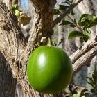 Árbol calabaza