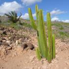Cardón (Euphorbia canariensis)