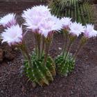 Echinopsis eryesii