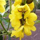 Flor de gofio