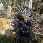 Flores de cuernúa (Caralluma burchardii)