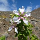Malva de risco (Lavatera acerifolia)