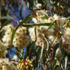 Rama florecida de eucalipto