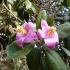 Rama florida de Lagunaria
