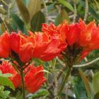 Tulipero del Gabón